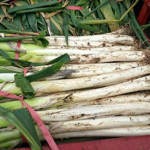山東省濟寧市泗水縣 現長白大蔥上市質量好貨源充足歡迎前來選購