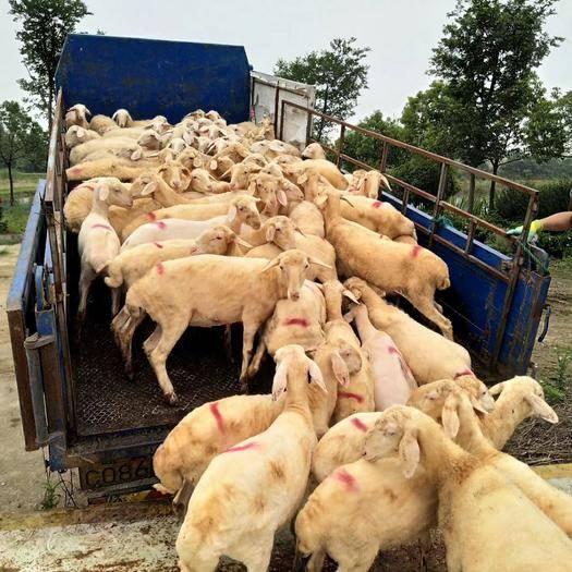 浙江省金華市蘭溪市 精品湖羊全年現貨銷售