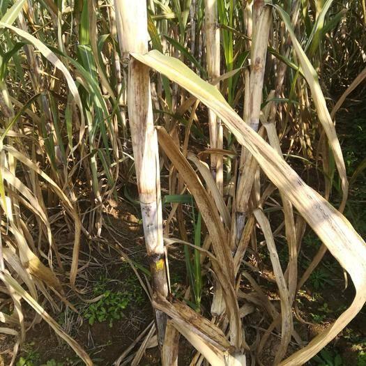 四川省成都市簡陽市 本地甘蔗,綠色天然食品,無農藥