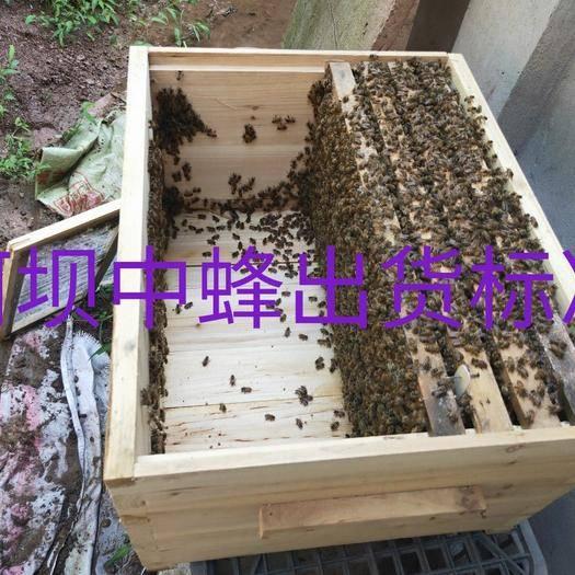 四川省達州市渠縣阿壩中蜂王 長年批發零售阿壩中蜂