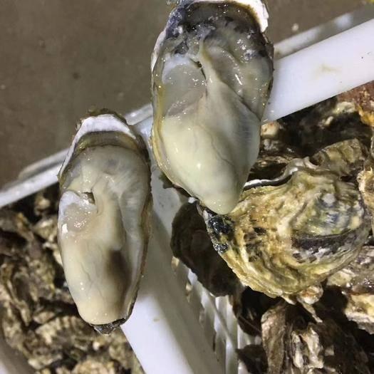 山東省煙臺市海陽市 精品野生珍珠牡蠣