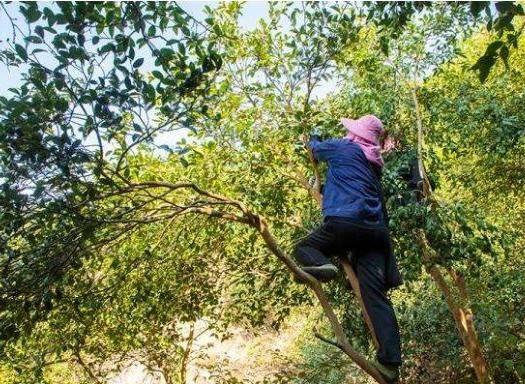 湖南省懷化市通道侗族自治縣 大量供應野生山茶籽今年新摘的茶籽