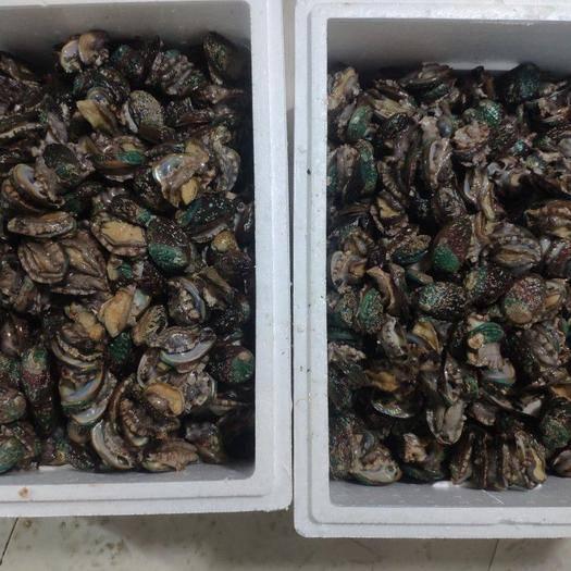 海南省海口市美蘭區 鮮活鮑魚 散裝大小個頭活鮑魚 餐飲供應鮑魚連云港特產現貨批