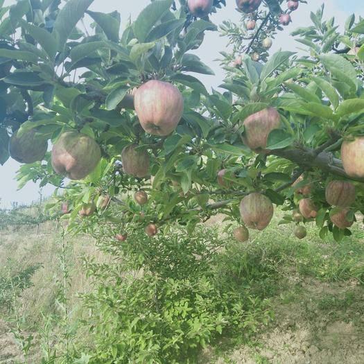 甘肅省天水市麥積區 有需要收購花牛蘋果的老板請和我聯系,我們這里蘋果品質有保證