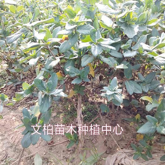 山東省臨沂市平邑縣 金銀花苗 四季金銀花苗 樹型易管理易采收產量高 一年開5次