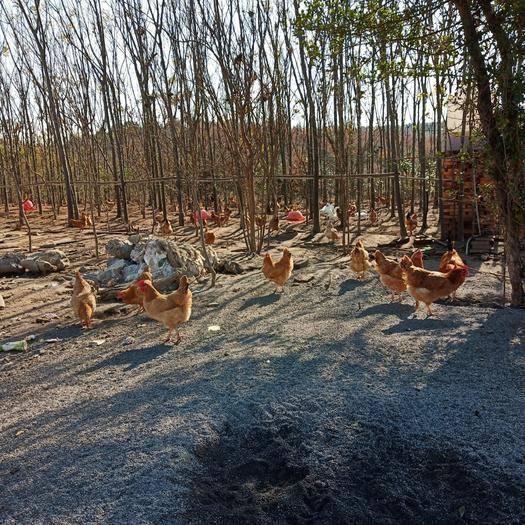 湖北省荊門市京山市土雞蛋 林下生態養雞