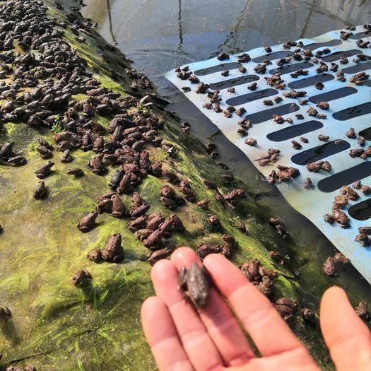 廣西壯族自治區貴港市桂平市 氹嶺蛙場蛇苗開口蛙上市