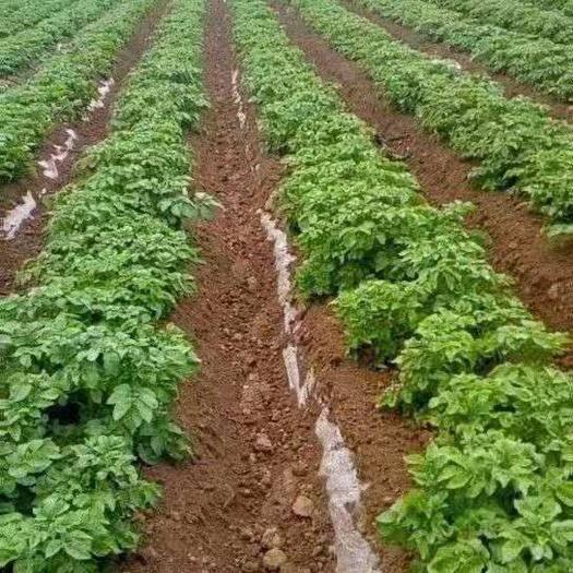 山東省菏澤市牡丹區 荷蘭十五土豆種子!原種!脫毒,抗病強產量穩定,提供技術支持