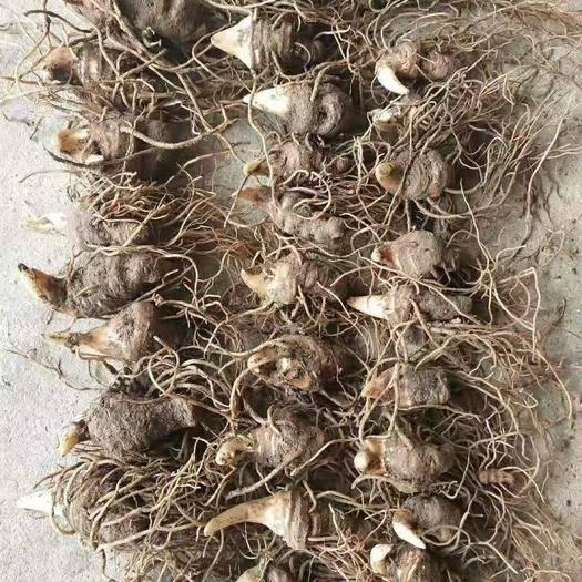云南省文山壯族苗族自治州馬關縣 重樓苗 5苗芽頭苗 當年結籽 基地直銷 提供技術指導
