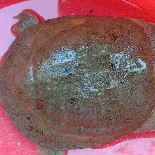 湖南省常德市漢壽縣 生態甲魚,綠色食品,質優價廉,歡迎選購,本養殖埸將竭誠為您