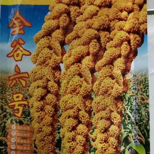 河北省邯鄲市永年區 金谷六號優質谷種批發小米種子小糯米種子抗旱抗倒伏 高產