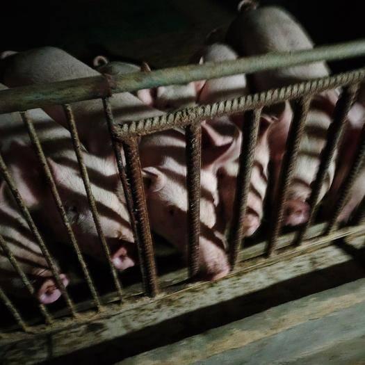 貴州省安順市普定縣大白豬 80斤以上
