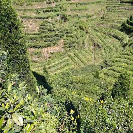 湖南省郴州市桂東縣 湖南桂東有機高山綠茶,全國含氧量最的的山區綠茶