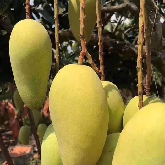 海南省三亞市崖州區 金皇芒果產地海南三亞。全年日照充足使得口感香甜