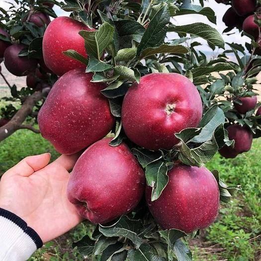 甘肅省隴南市禮縣 花牛蘋果新鮮紅蛇果水果現摘現發甘肅禮縣花牛蘋果