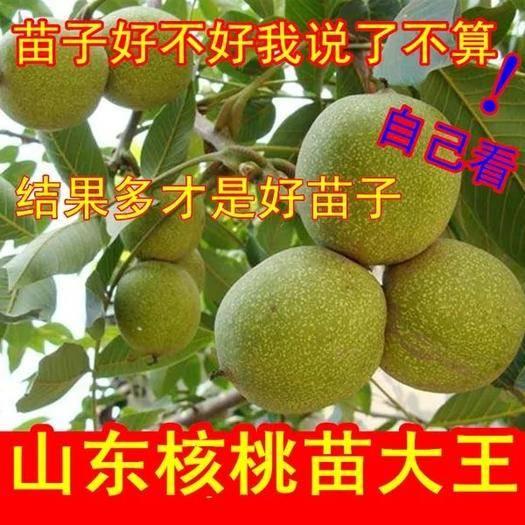 山東省臨沂市平邑縣8518核桃苗 嫁接苗,包品種,包成活,后期免費指導