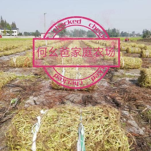 四川省成都市新都區空心菜種子 我們是川內最大一家種植空心菜種的企業,在川渝兩地口碑很好。