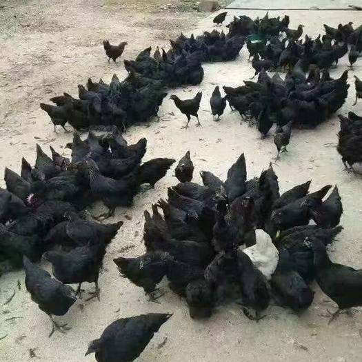 山西省臨汾市襄汾縣 正宗家中散養土雞蛋