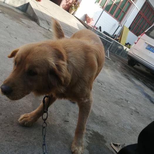 陜西省漢中市城固縣 金毛犬1歲兩個月