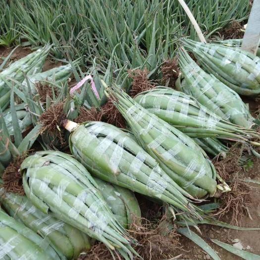 河南省周口市川匯區 精品庫拉索蘆薈個大,膠好