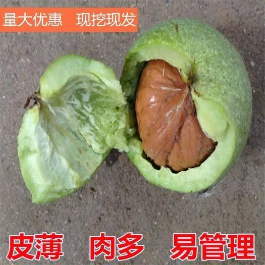 山東省臨沂市平邑縣 薄皮核桃苗包品種包坐果率量大從優