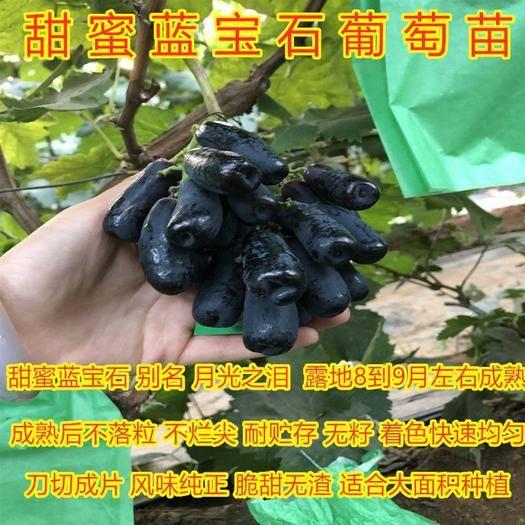 山東省臨沂市平邑縣 藍寶石葡萄苗家庭種植好看好吃品種葡萄樹苗包活包結果苗包品種苗