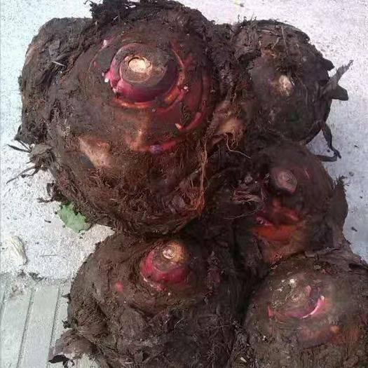 江蘇省泰州市興化市紅芽芋 7cm以上