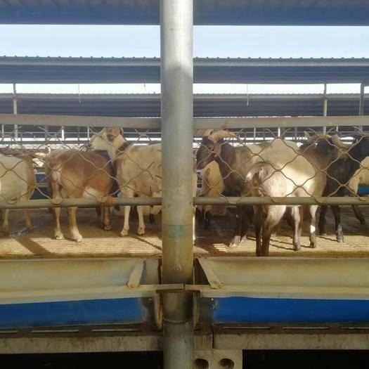 河北省邯鄲市邱縣 出售育肥假山羊羊 青海羊 有收與我聯系