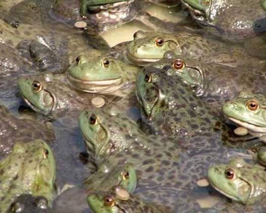 重慶市涪陵區 牛蛙