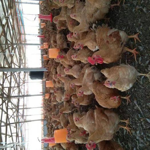 廣東省肇慶市四會市 肉雞,土三黃雞