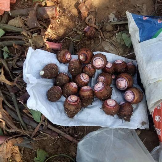 山東省臨沂市沂南縣香芋 2cm以上
