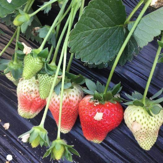 遼寧省丹東市東港市 丹東久久草莓一件代發