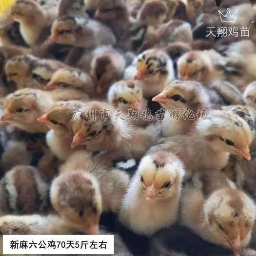 廣東省廣州市白云區 新麻六公雞出殼雞苗