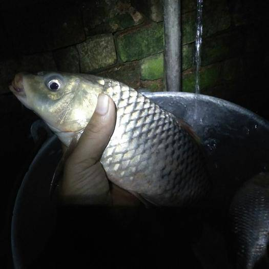 廣西壯族自治區南寧市馬山縣 鯉魚2~3漂亮無刮傷
