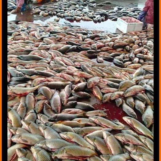 河北省保定市高陽縣 殺好的野生鯉魚