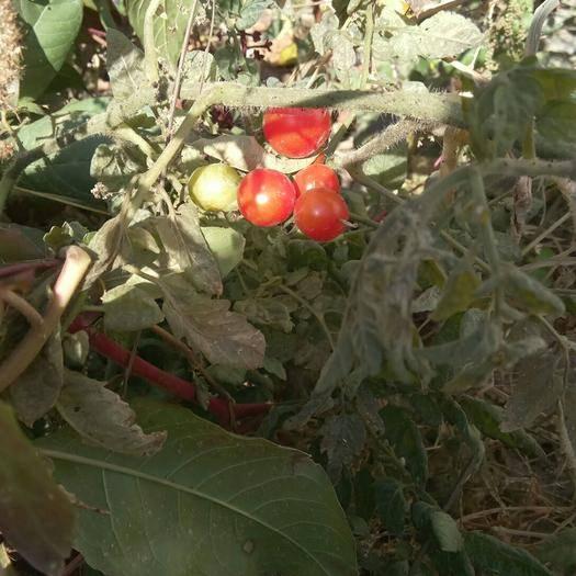 河南省周口市扶溝縣紅風鈴小番茄 櫻桃小番茄