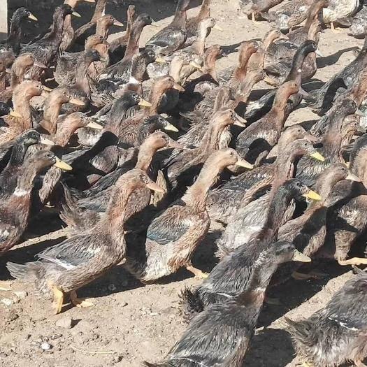 河南省焦作市修武縣 大 麻鴨,均重5.3,貨多