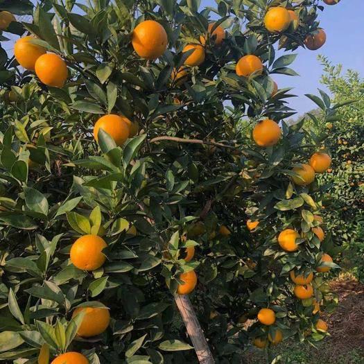 廣西壯族自治區桂林市靈川縣 桂林靈川 蜜香橙 大量上市