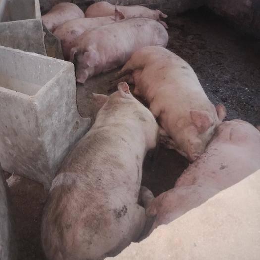 河南省鄭州市中牟縣 誰要二百七八十斤大肥豬