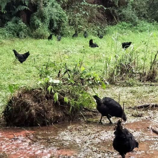 貴州省遵義市赤水市 放養烏骨雞。