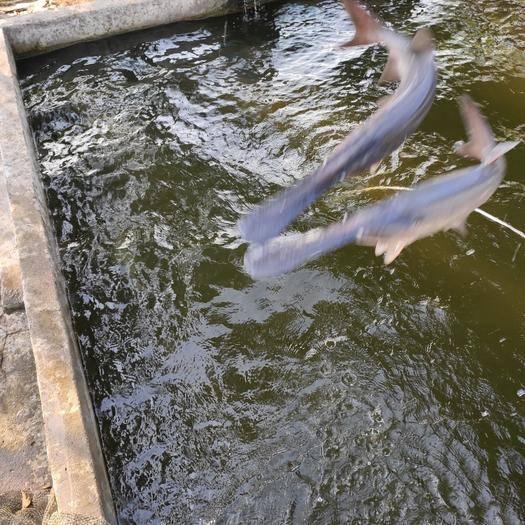 广东省佛山市南海区鸭嘴鲟 优质鸭嘴鱼,只要你下单,就会有钱赚
