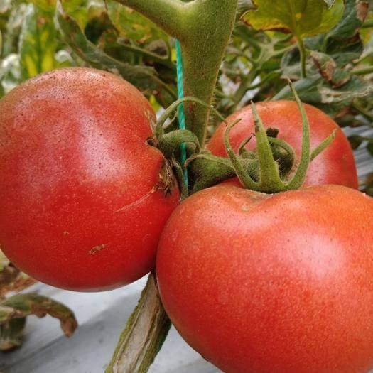 河南省洛陽市偃師市 硬粉番茄洛陽偃師自然紅綠色食品