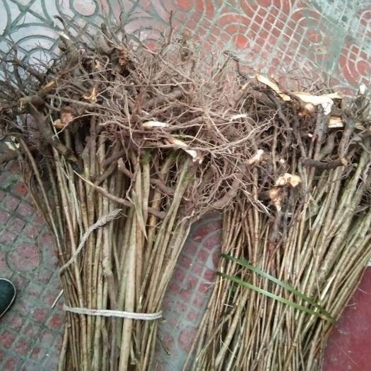 四川省達州市大竹縣紅油香椿苗 香椿樹苗