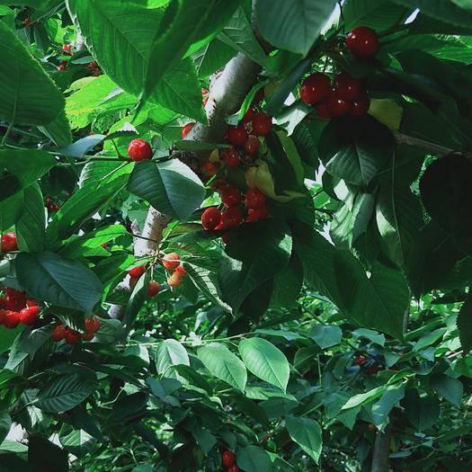 山東省臨沂市平邑縣 巴西櫻桃苗 甜度高  品種好