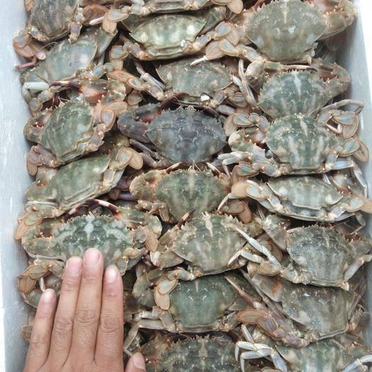 遼寧省丹東市東港市 花蓋蟹,一箱二十斤,一兩以上公母混規格,肥滿度好。