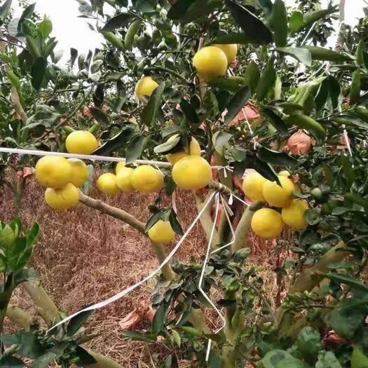 福建省漳州市平和縣 福建漳州黃金葡萄柚水果包郵孕婦小柚子黃肉蜜柚西柚當季水果