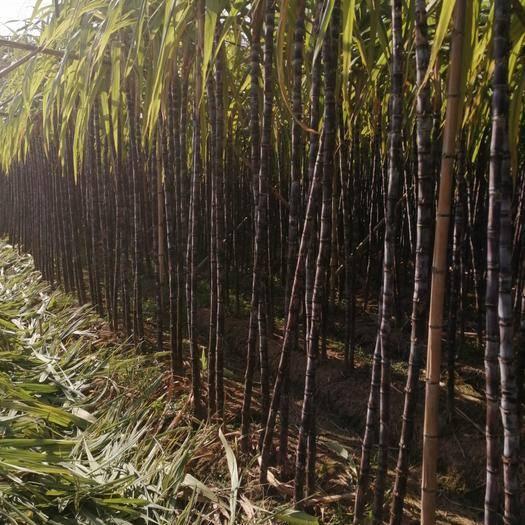 廣東省梅州市梅縣區 新鮮甘蔗