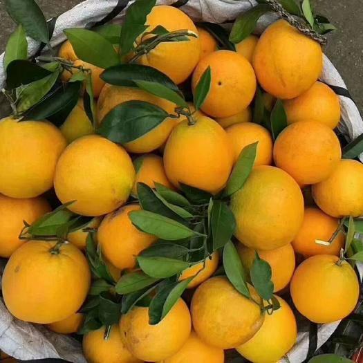 重慶市開州區椪柑 臍橙