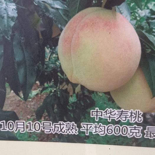 山東省泰安市岱岳區 冬桃樹苗