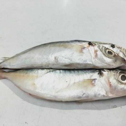 福建省泉州市石獅市 福建特產海捕野生新鮮冰凍巴浪魚